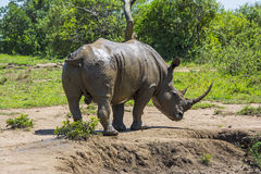 Wild rhinoceros Stock Photos