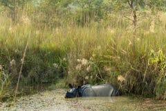 Wild Rhinoceros unicornis Stock Photography