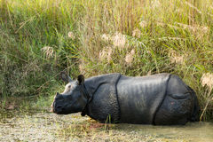 Wild Rhinoceros unicornis Royalty Free Stock Images
