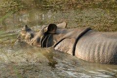 Wild Rhinoceros unicornis Stock Image