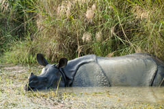 Wild Rhinoceros unicornis Royalty Free Stock Photo