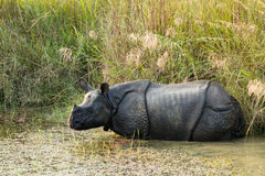 Wild Rhinoceros unicornis Stock Photo