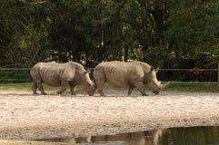 Wild rhinos Royalty Free Stock Image