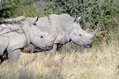Wild Rhinos (Rhinoceros) Royalty Free Stock Image