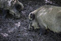 Wild rice mud, Bialowieza National Park Stock Image