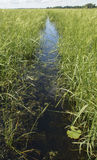 Wild Rice Path. A watery path through a thick stand of wild rice Royalty Free Stock Image