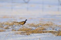 Wild Ring-necked pheasant Royalty Free Stock Photos