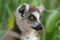 Wild ring-tailed lemur of Madagascar Royalty Free Stock Photography