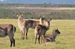 Wild Ringtail Deer Royalty Free Stock Image