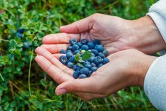 Wild ripe blueberry. Royalty Free Stock Images