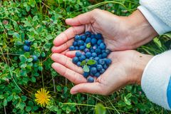 Wild ripe blueberry. Stock Photo