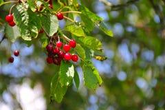 Wild ripe cherry on tree Stock Images