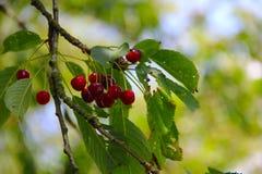 Wild ripe cherry on tree Stock Image