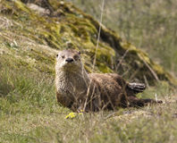 Wild River Otter Stock Photography