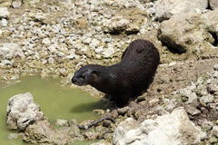 Wild River Otter Royalty Free Stock Photo