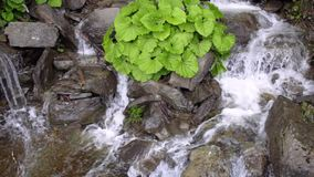 Wild river stream. Stone water splash. Green bush grow on stones in waterfall. Clear stream water flow between dark stones. River falling on rock stock footage