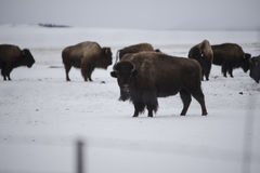 In the Wild. Roaming Buffalo in Colorado during the winter Royalty Free Stock Photos