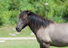Wild roaming Konik horse Royalty Free Stock Photography