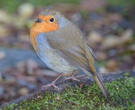 Wild robin appeared Stock Photography