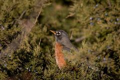 Wild Robin sitting in an evergreen tree Stock Images