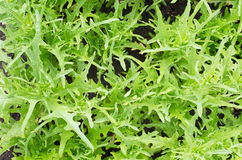 Wild rocket arugula salad. Growing in the garden Royalty Free Stock Image
