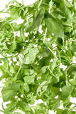 Wild rocket salad Royalty Free Stock Photography