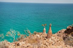 Wild rocky ocean and endemic bottle trees. Yemen. island of Socotra. stock images