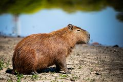 Wild rodent from your homeplace stock image
