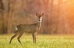 Wild roe deer in early morning light royalty free stock image