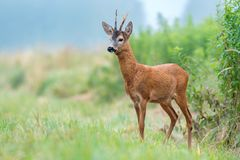 Roe buck standing in a field Stock Photography