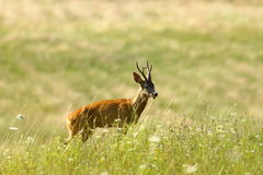 Wild roe deer buck on natural meadow Royalty Free Stock Images