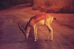 Wild roe deer buck standing in a field royalty free stock image