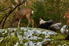Wild roe deer, Capreolus capreolus and chickens together in harmony. Wild roe deer, Capreolus capreolus came to the farm`s free-range chickens, in the nature of royalty free stock photo
