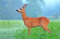 Wild roe deer (Capreolus capreolus) in a field. Wild roe deer (Capreolus capreolus) in field Royalty Free Stock Image