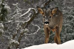 A wild roe deer, Capreolus capreolus male in a snowy wintery landscape. A wild roe deer, Capreolus capreolus male and looking into the camera in a snowy wintery stock images