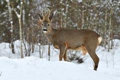 A wild roe deer, Capreolus capreolus male in wintery landscape . royalty free stock image