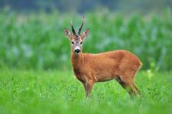 Wild roe deer stock image