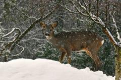 A wild roe deer, Capreolus capreolus male in a snowfall in wintery landscape . stock photo