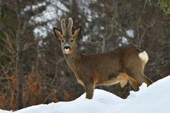 A wild roe deer, Capreolus capreolus male in wintery landscape . stock photography