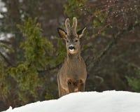 A wild roe deer, Capreolus capreolus male in wintery landscape . stock image