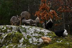 Wild roe deer, Capreolus capreolus and chickens together in harmony. Wild roe deer, Capreolus capreolus came to the farm`s free-range chickens, in the nature of royalty free stock images