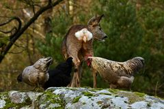 Wild roe deer, Capreolus capreolus and chickens together in harmony. Wild roe deer, Capreolus capreolus came to the farm`s free-range chickens, in the nature of stock photo
