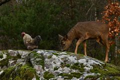 Wild roe deer, Capreolus capreolus and chickens together in harmony. Wild roe deer, Capreolus capreolus came to the farm`s free-range chickens, in the nature of stock photos