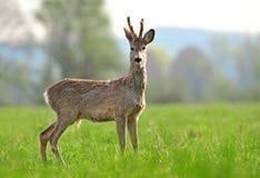 Wild roe deer in coat changing process. Photo of wild roe deer in a coat changing process Stock Photos