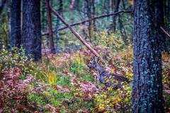 Roe deer in autumn forest stock image