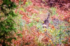 Roe deer in autumn forest royalty free stock photography