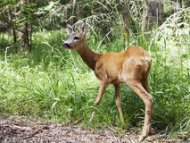 Wild roe deer in the forest Stock Photos