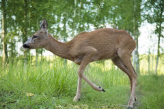 Wild roe deer in the forest Royalty Free Stock Photo