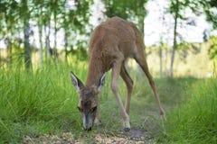 Wild roe deer grazing Royalty Free Stock Photo