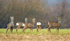 Wild roe deer herd in a field. Wild roe deer herd in field Stock Photo